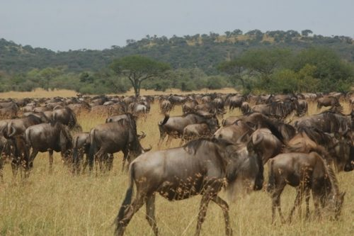 10 Day Wildebeest Migration following
